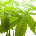 القنب Cannabis 2